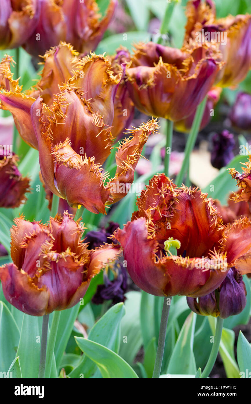 Opening dark maroon, the spring blooming bulb, Tulipa 'Black Jewel', ages to a rich coppery tone on the - Stock Image