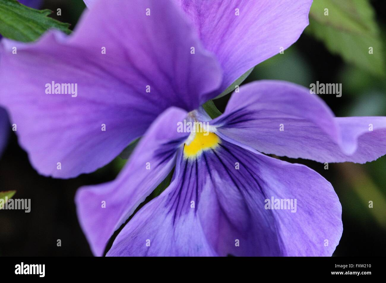 Pansy flower - Stock Image