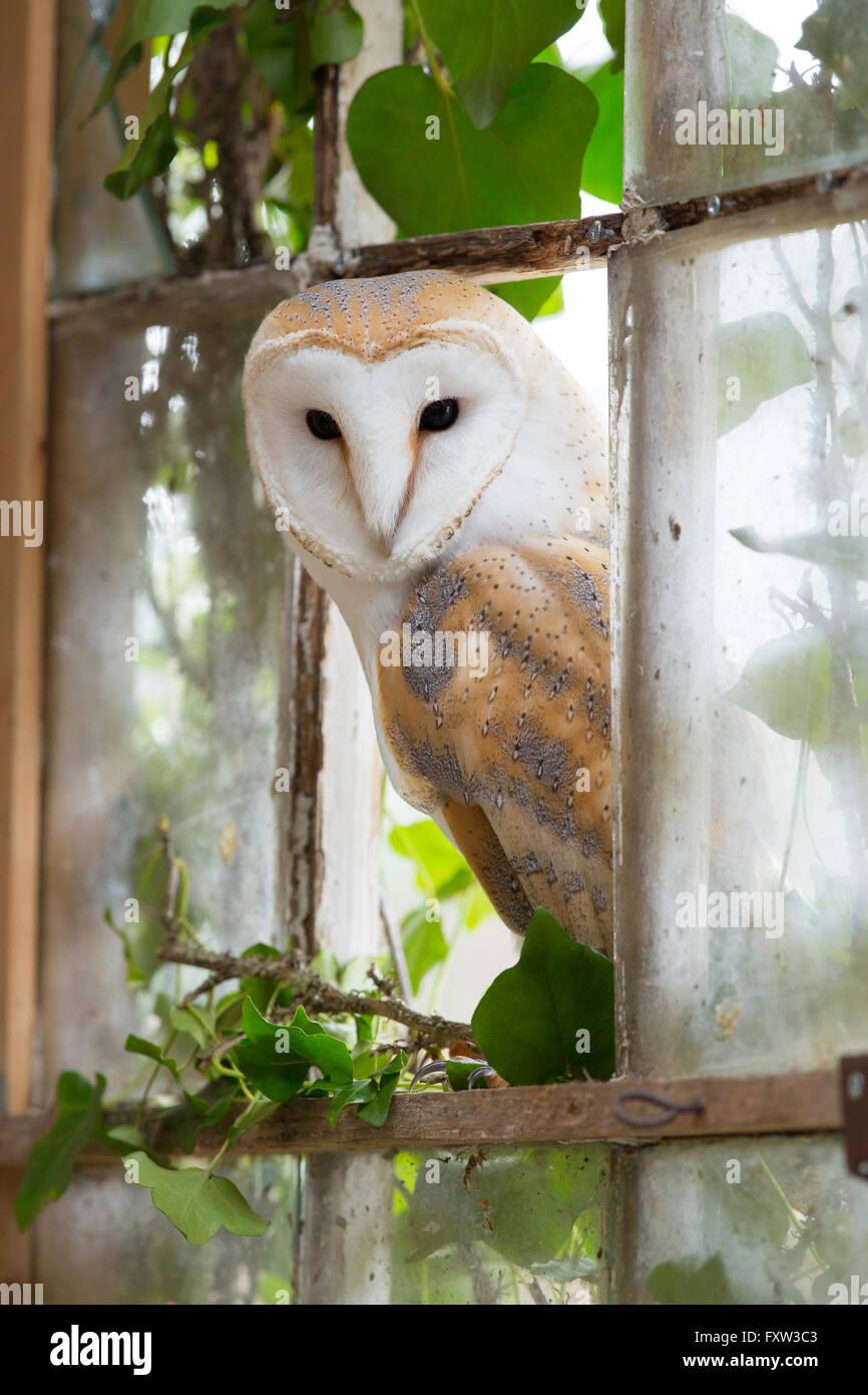 Barn Owl; Tyto alba Single at Window Cornwall; UK - Stock Image