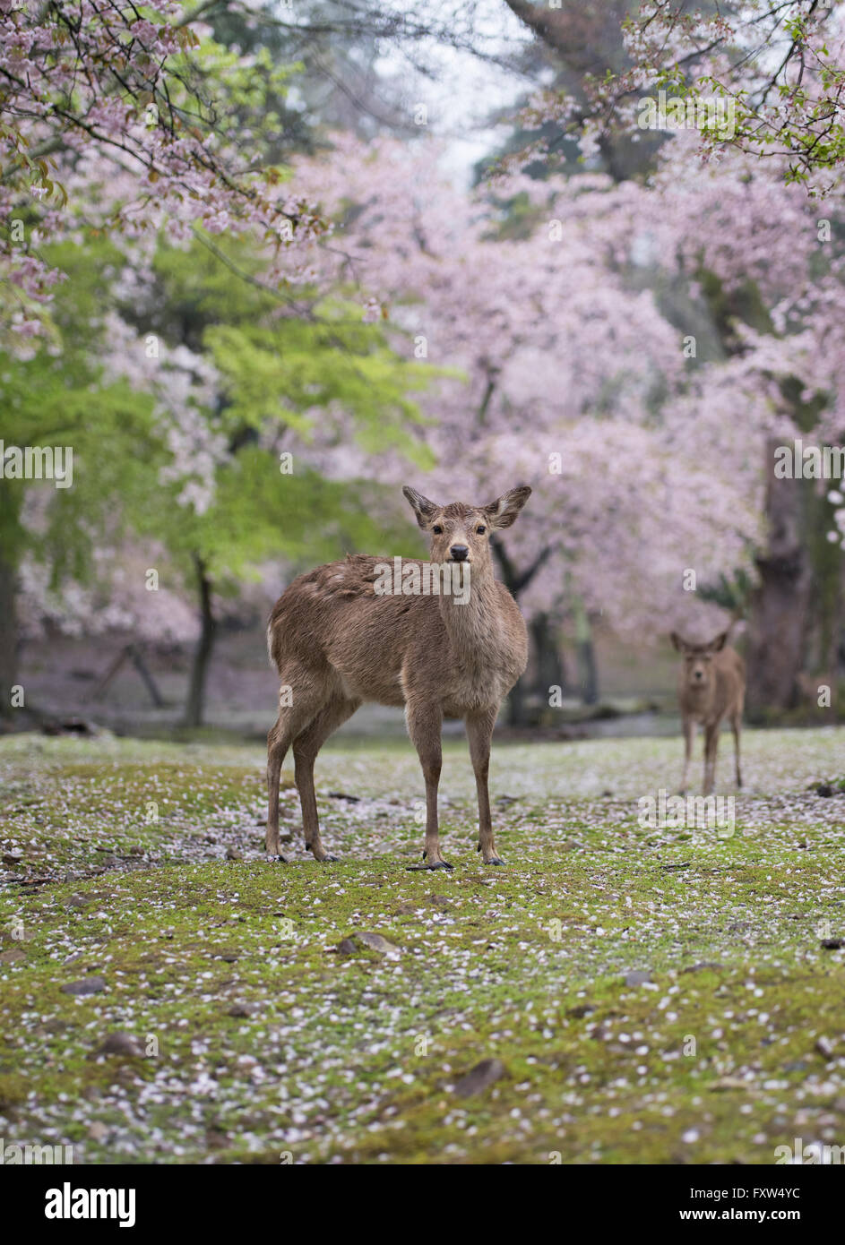 Deer in Nara Park among the cherry blossom. Nara, Japan - Stock Image
