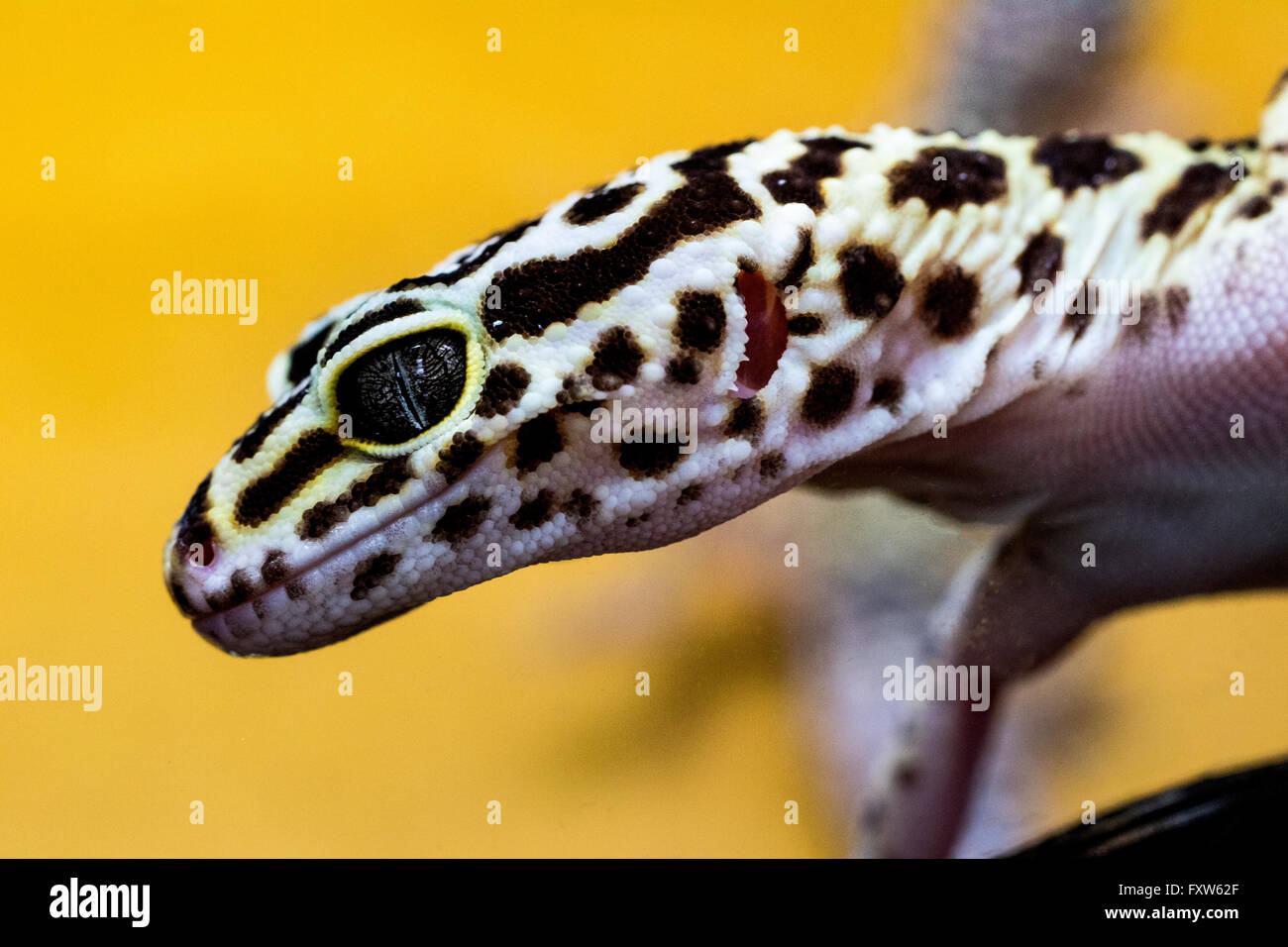 Close Up Portrait Of A Leopard Gecko Eublepharis Macularius