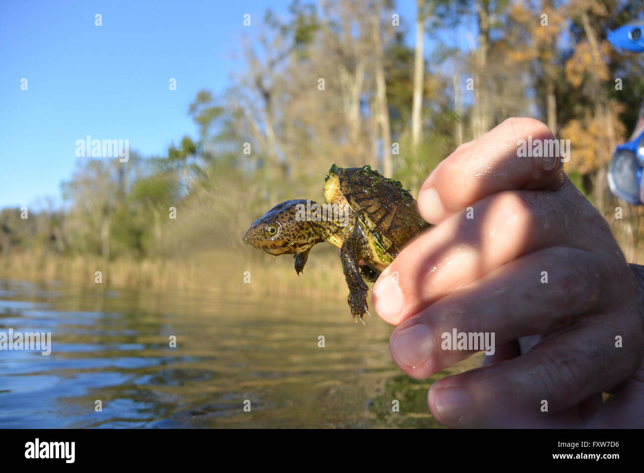 Baby snapping turtle in the Rainbow River, Florida. - Stock Image