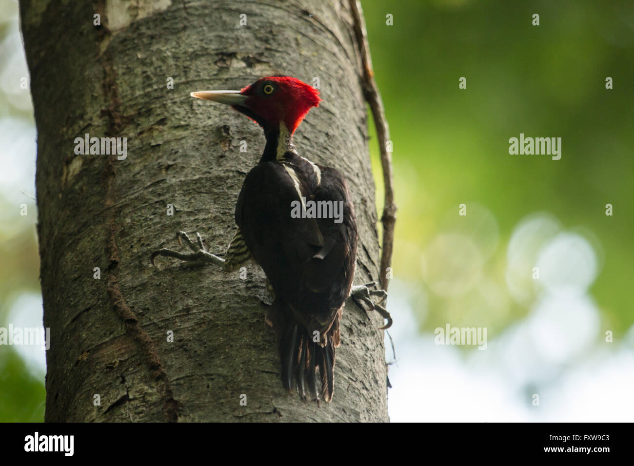 Pale-billed woodpecker - Campephilus guatemalensis - Stock Image