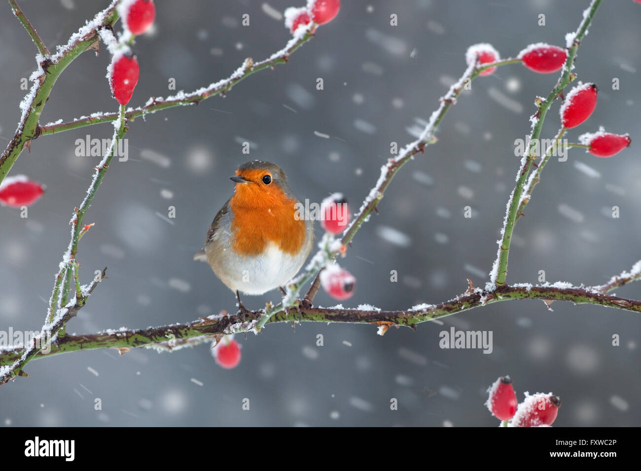 Robin Erithacus Rubecula on rosehips in snow storm - Stock Image