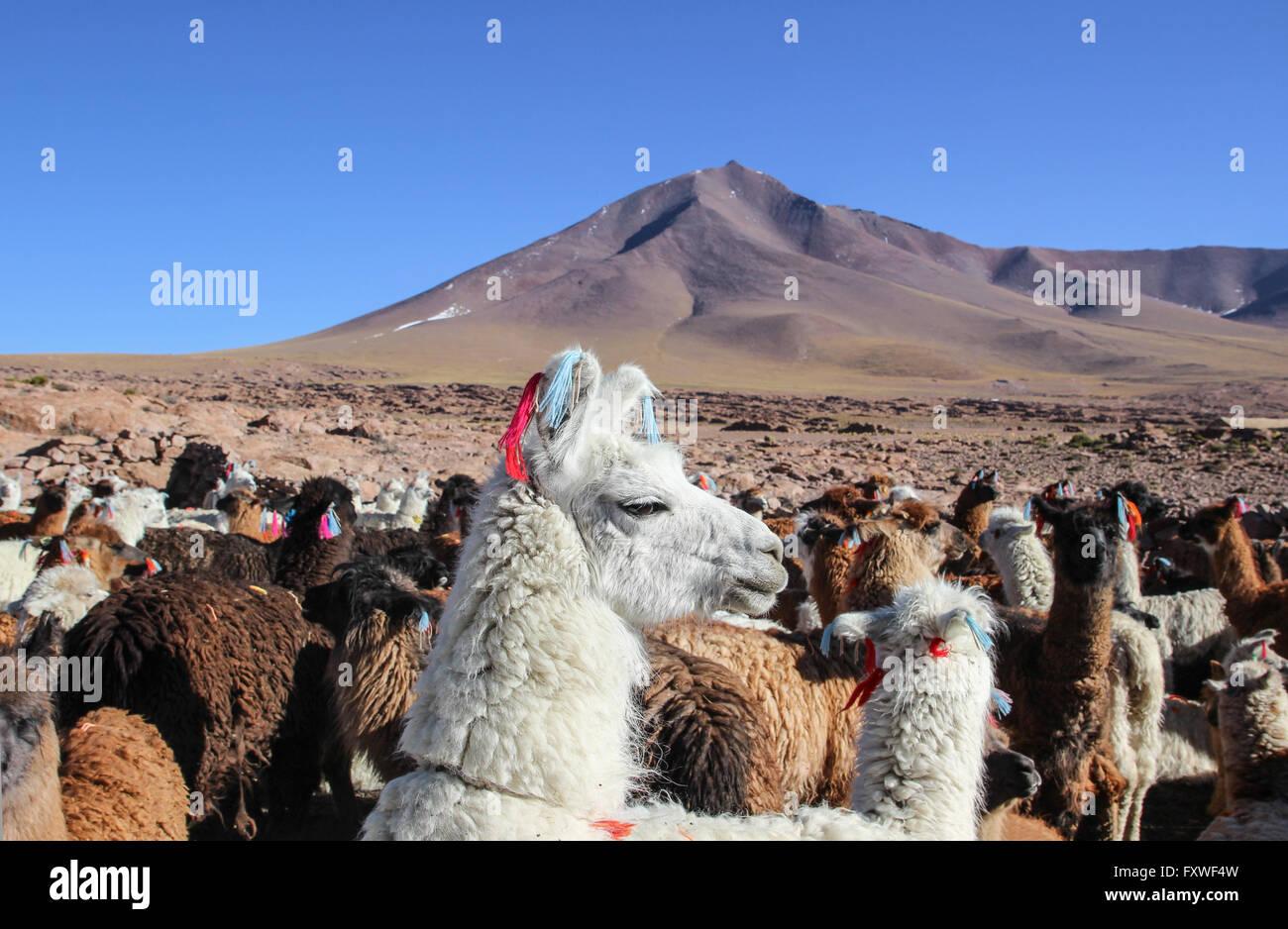 Bolivia -  20/08/2013  -  Bolivia / Uyuni  -  Lagunes, herd of lamas   -  Sandrine Huet / Le Pictorium - Stock Image