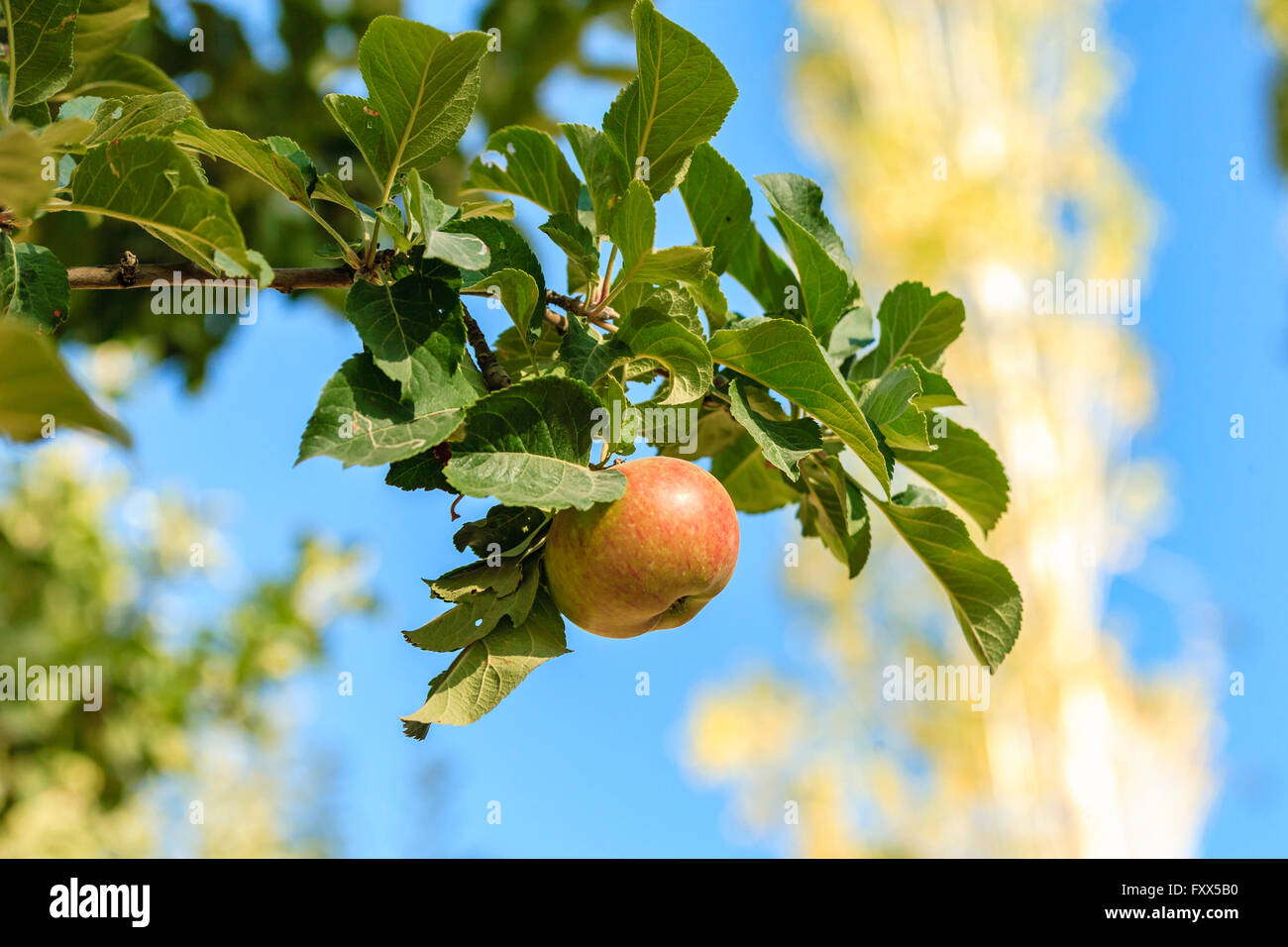 Apple in India - Stock Image