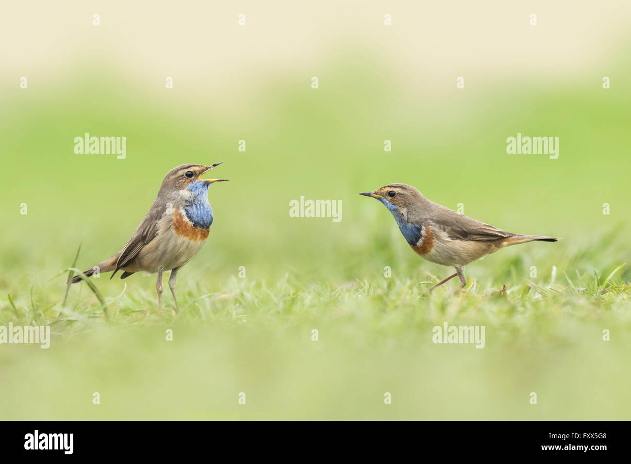 Two blue-throat song birds (Luscinia svecica cyanecula) mating in grass. The male displays for a female during breeding - Stock Image