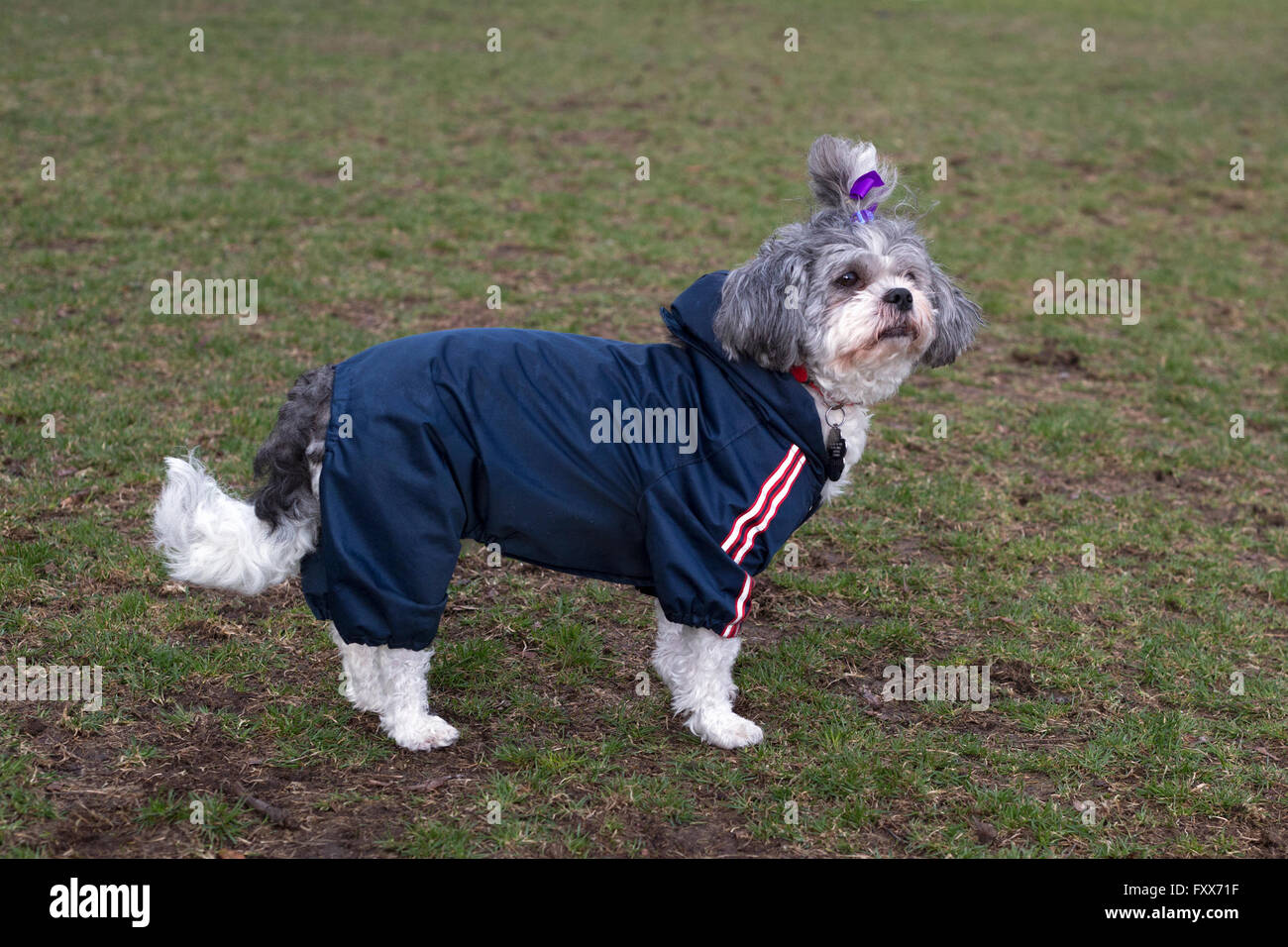 Dog wearing raincoat - Stock Image