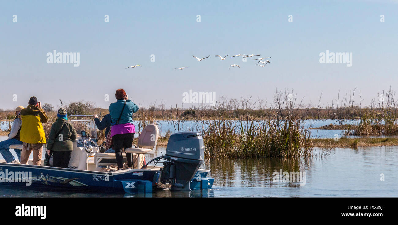 Visitors watch pelicans (Pelecanus erythrorhynchos) fly over marsh near Lake Charles, La. - Stock Image