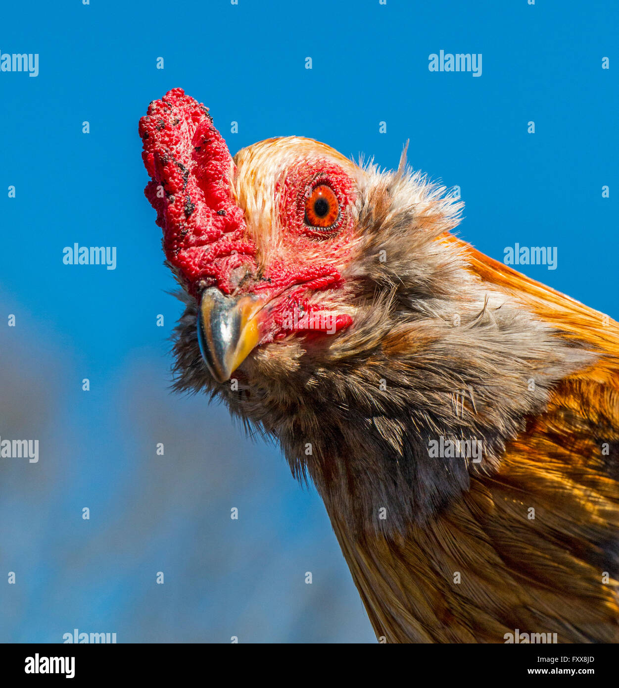 One of roosters chased during Mardi Gras Chicken Run during Lake Charles family friendly Mardi Gras. - Stock Image