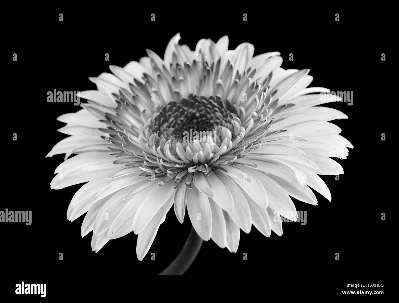 gerbera flower in black nd white isolated on black background - Stock Image