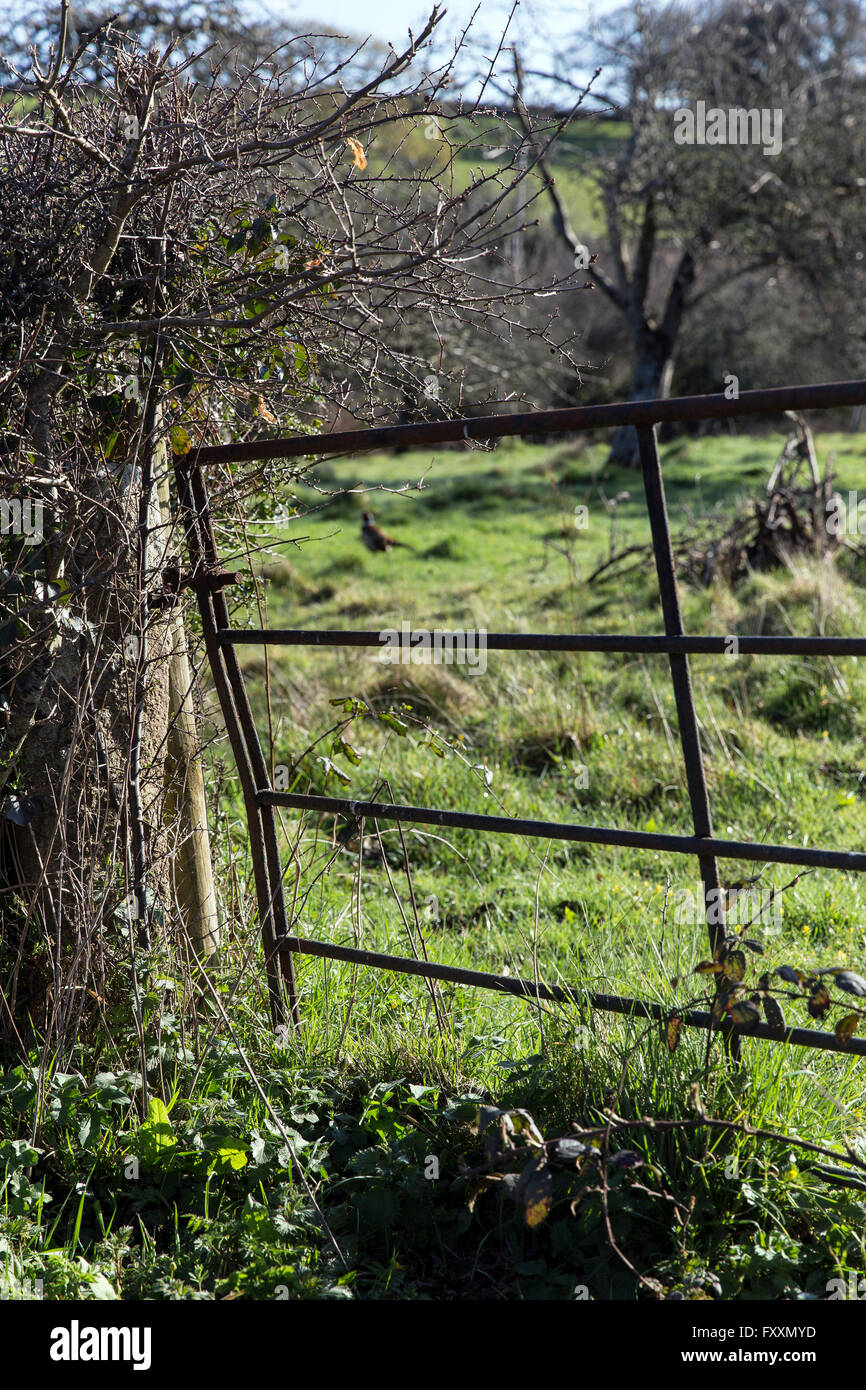 Old meal gate and gatepost,Dartmoor National Park,Devon lane, farm, farmland, field, tree, white, ovine, farm animals, - Stock Image