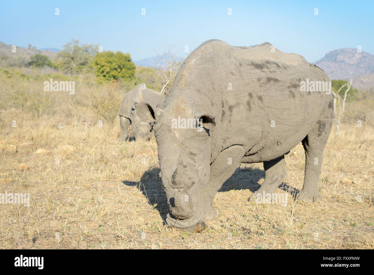 White rhino (Ceratotherium simum) pair in the southern part of the Kruger National Park, South Africa - Stock Image