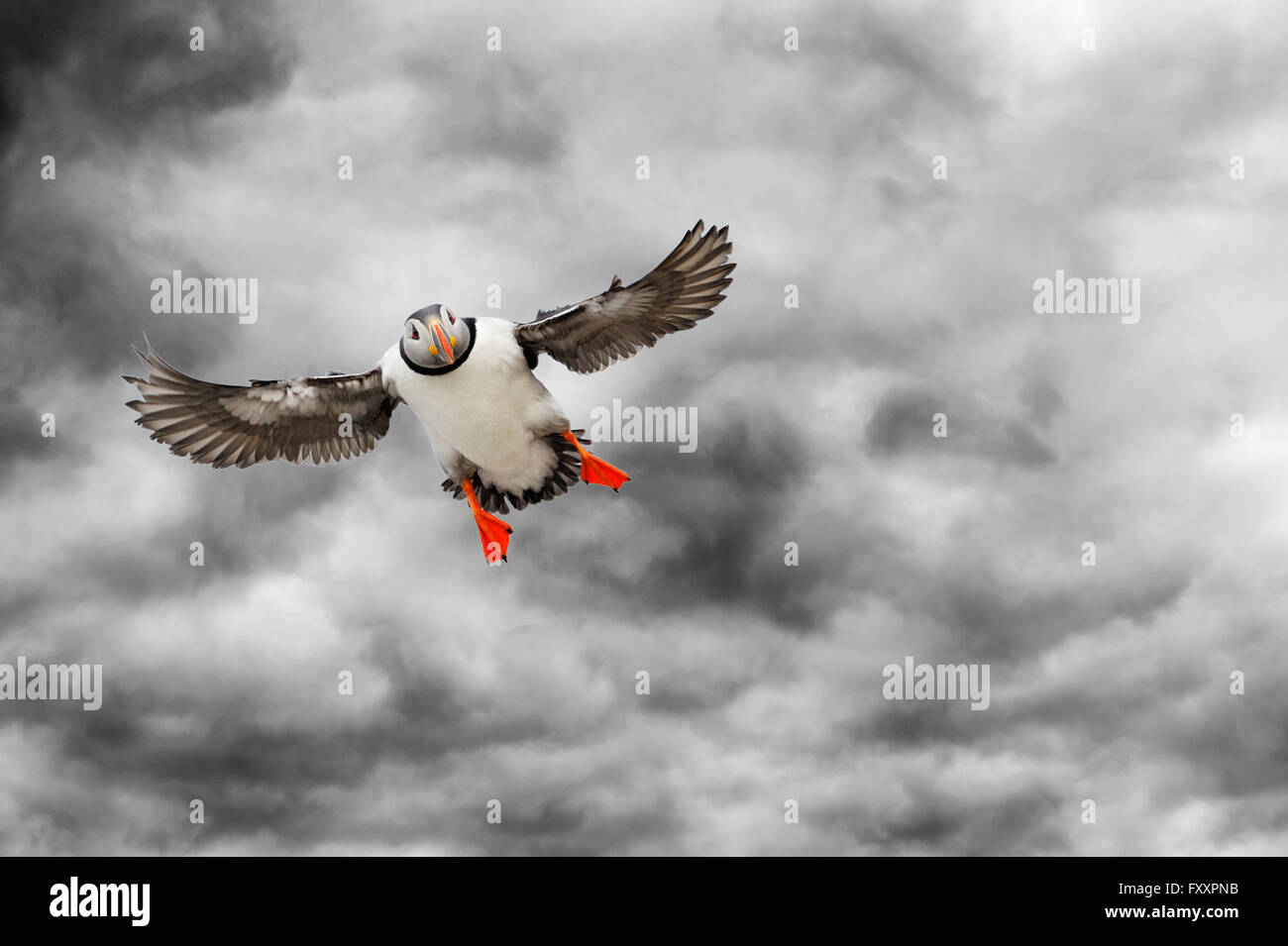Atlantic Puffin (Fratercula arctica) flying against dark cloudy overcast sky, Varanger penninsula, Norway. - Stock Image
