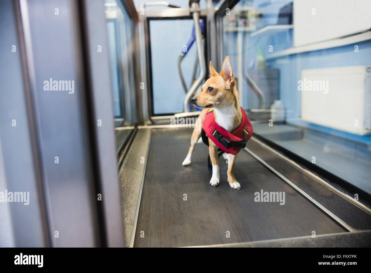 Dog on hydrotherapy treadmill in clinic - Stock Image