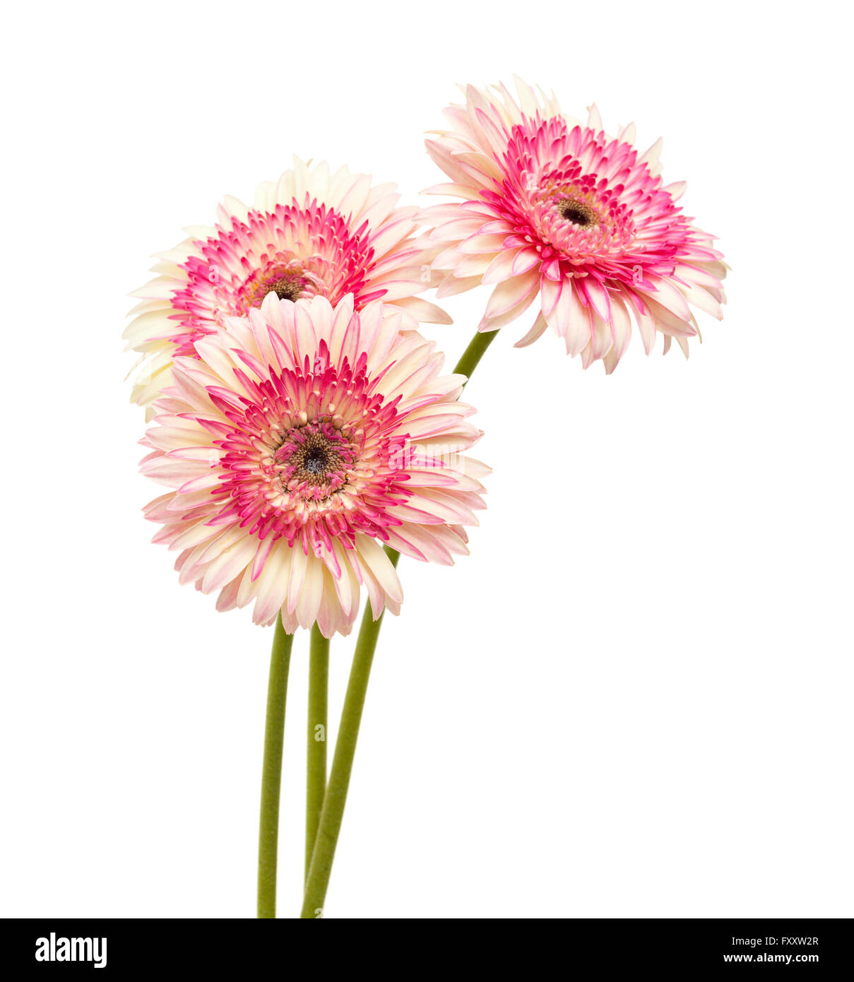 white and magenta gerbera flowers isolated on white background - Stock Image