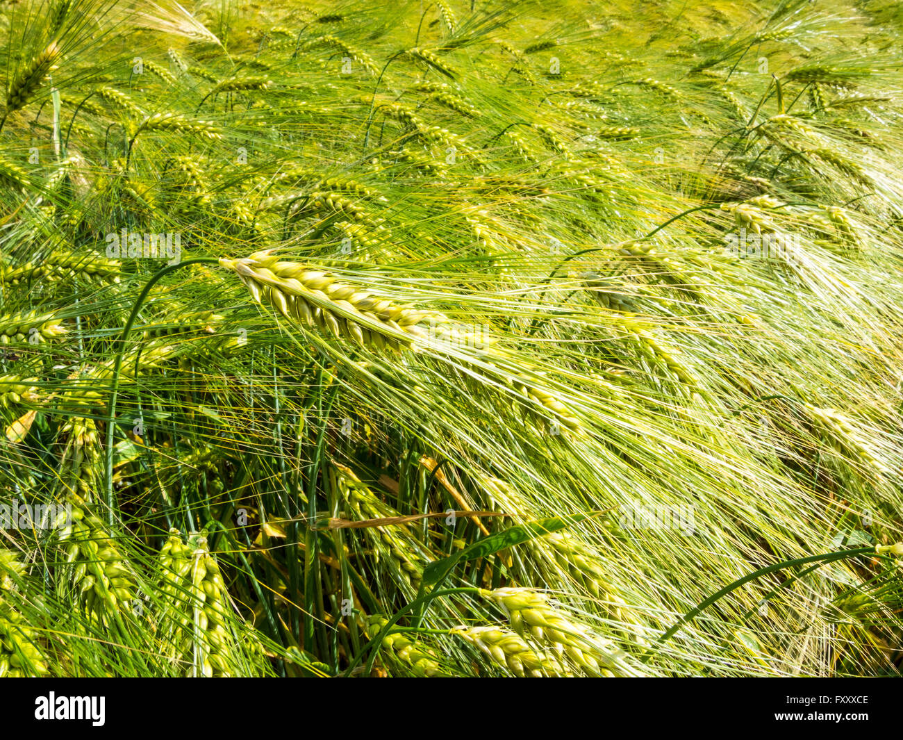Barley ear with awns on a barley field - Stock Image