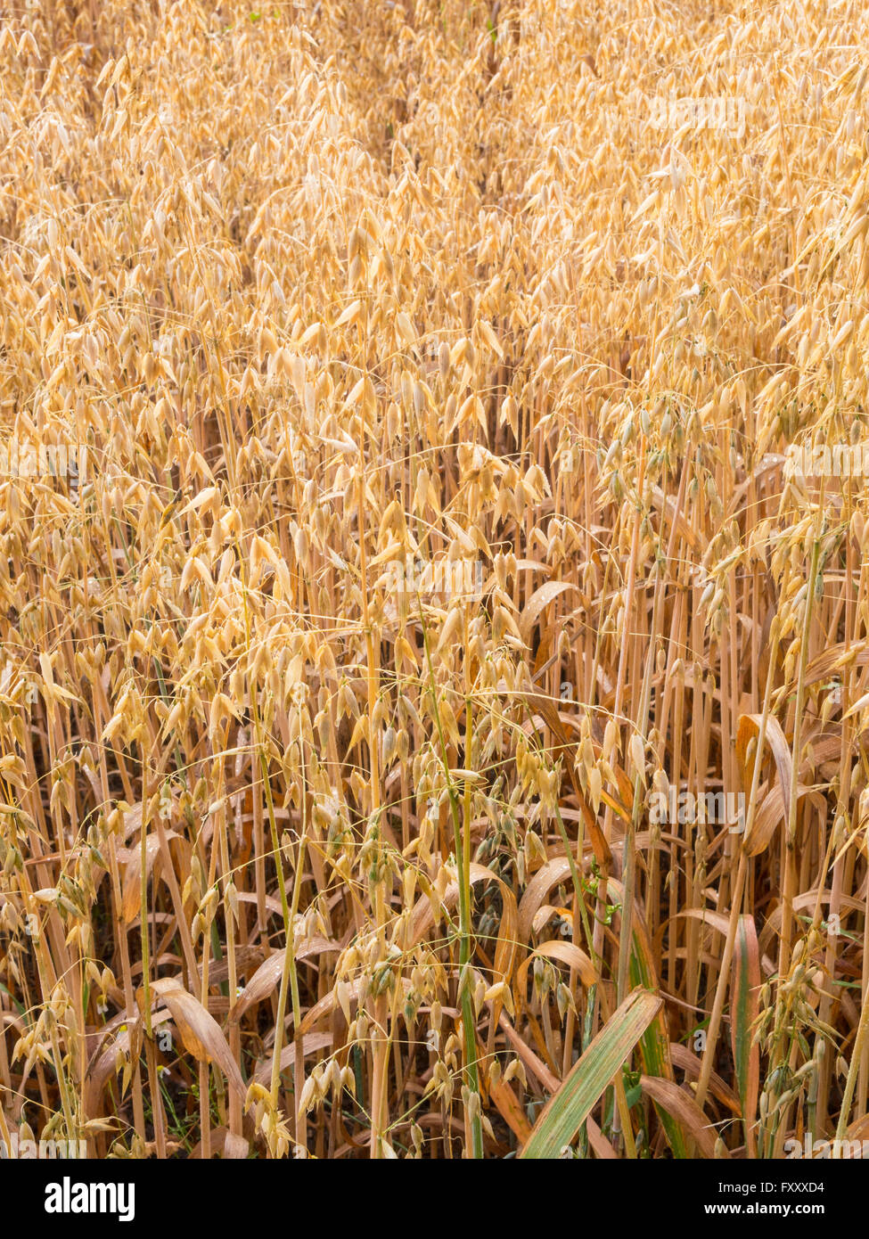 Oat field with morning dew - Stock Image
