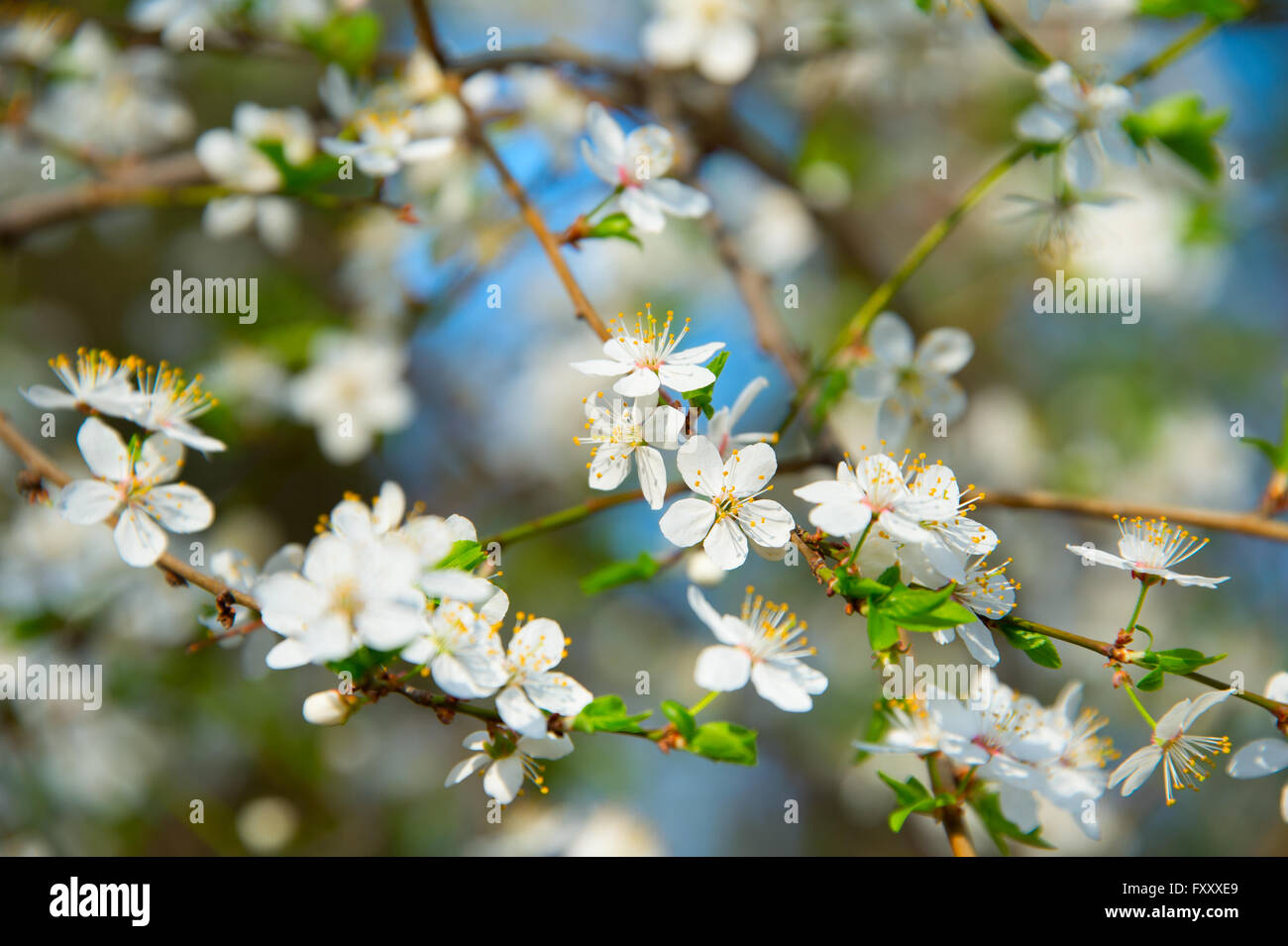 Blossom flowers of apricot tree in a spring season stock photo blossom flowers of apricot tree in a spring season mightylinksfo