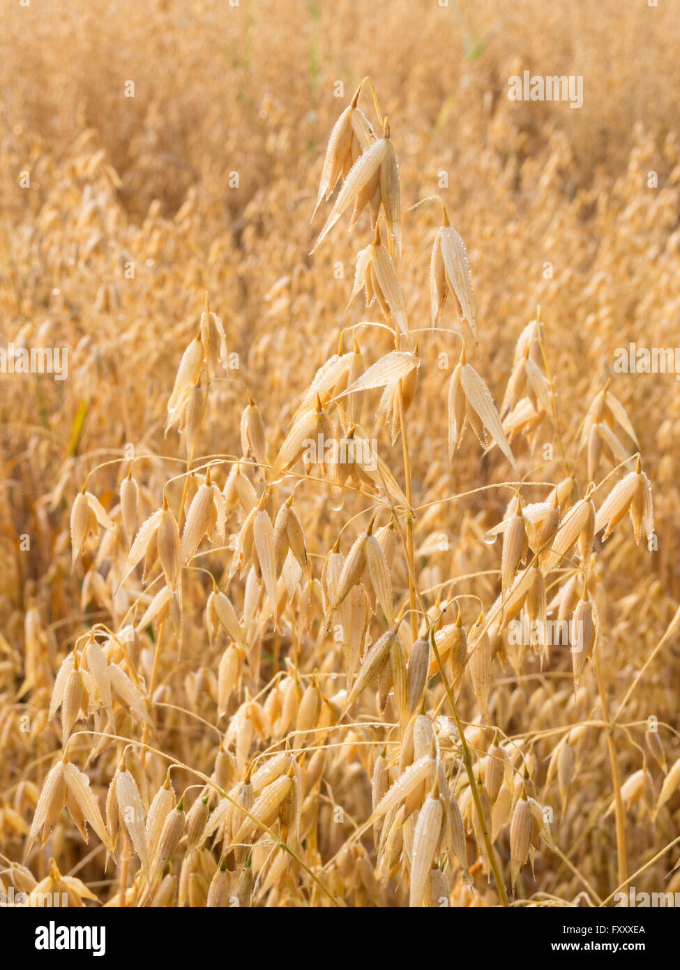 Oat plant with morning dew on an oat field - Stock Image