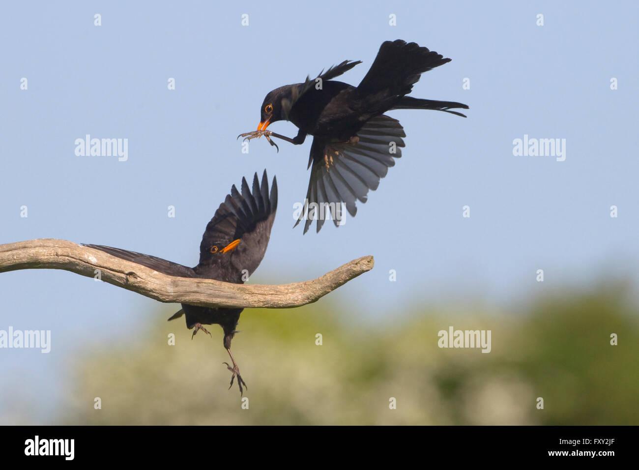 Blackbird Turdus merula males fighting over territory in oak tree - Stock Image