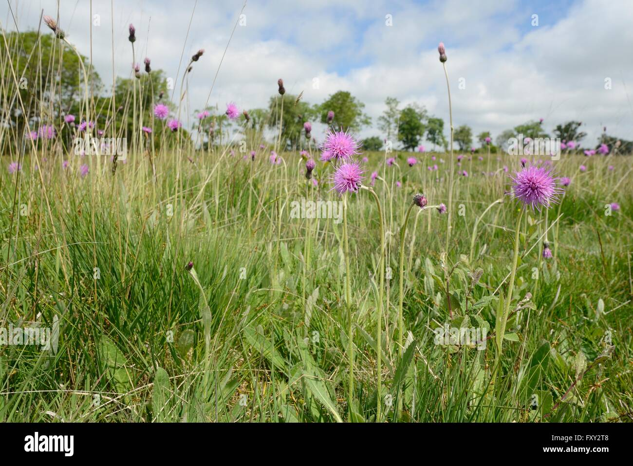 Meadow thistles (Cirsium dissectum) flowering in a damp culm grassland meadow, Devon, UK, June. - Stock Image