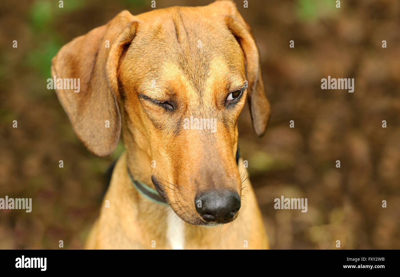 Funny dog winking is a beautiful dog giving us the wink of an eye - Stock Image