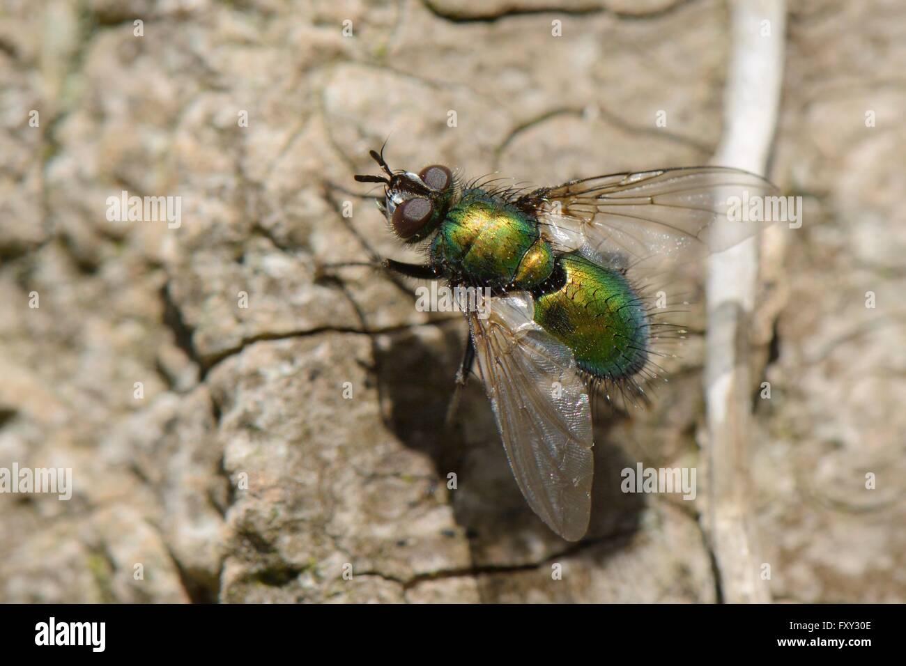 Parasite fly / Tachinid fly (Gymnocheta viridis), a parasite of lepidopteran caterpillars, sunning on a tree trunk, - Stock Image