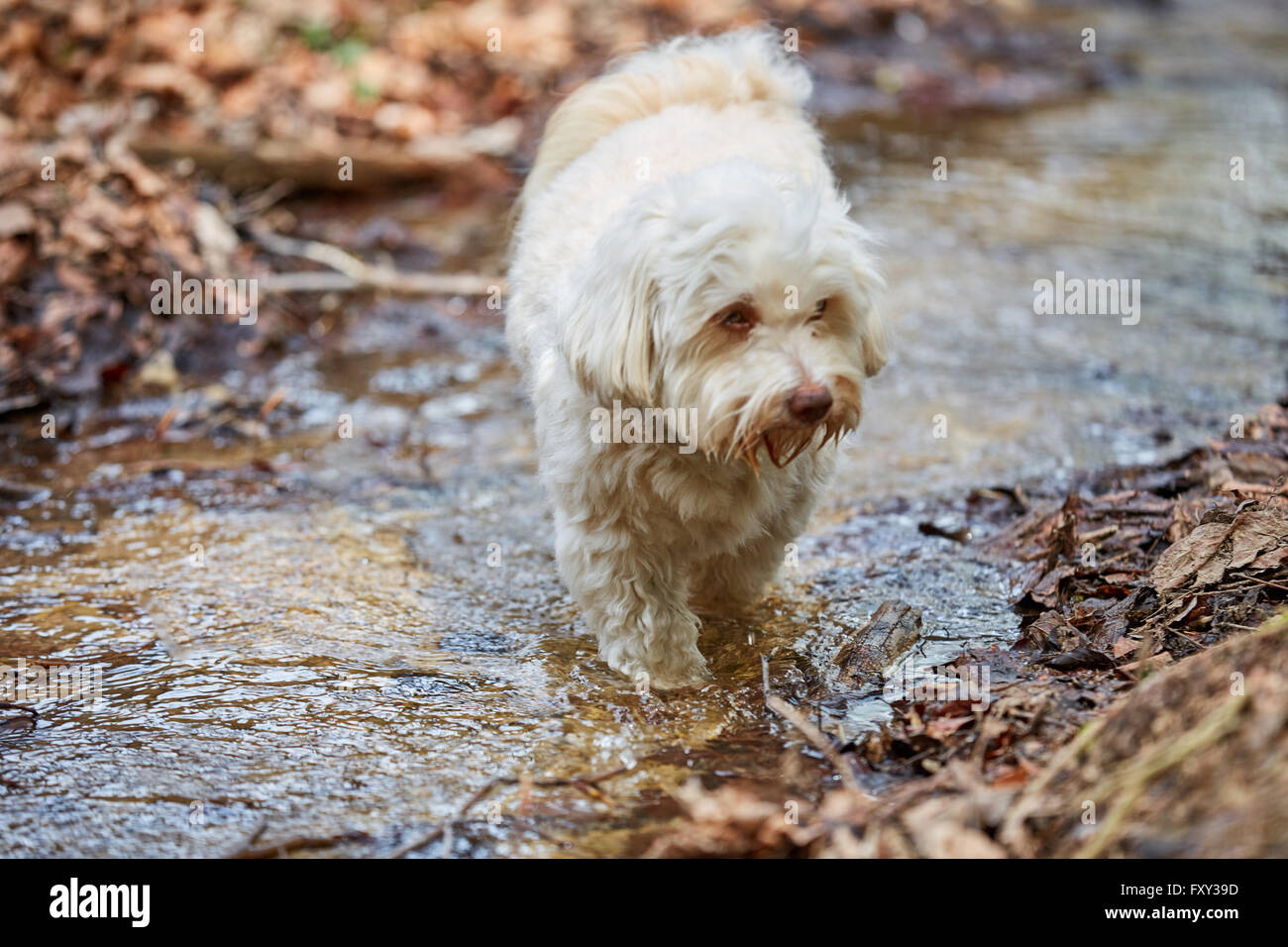 White havanese dog drinking water from a stream in a forest Stock Photo