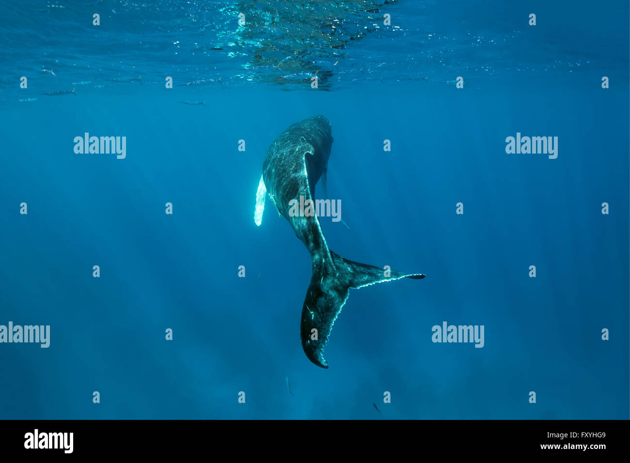 Humpback whale (Megaptera novaeangliae) over coral reef, Silver Bank, Silver and Navidad Bank Sanctuary, Atlantic - Stock Image