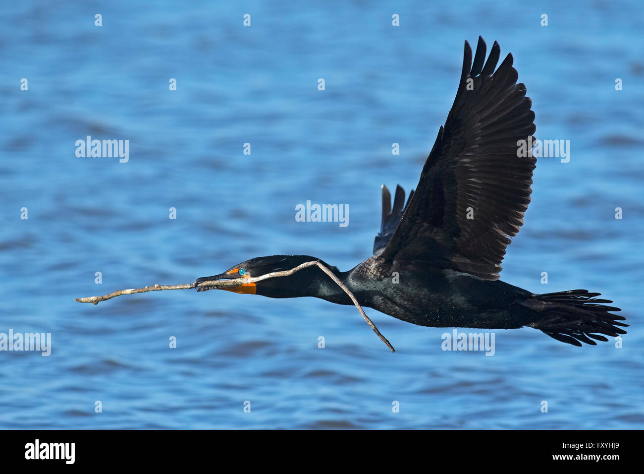 Double-crested Cormorant in Flight with Stick - Stock Image