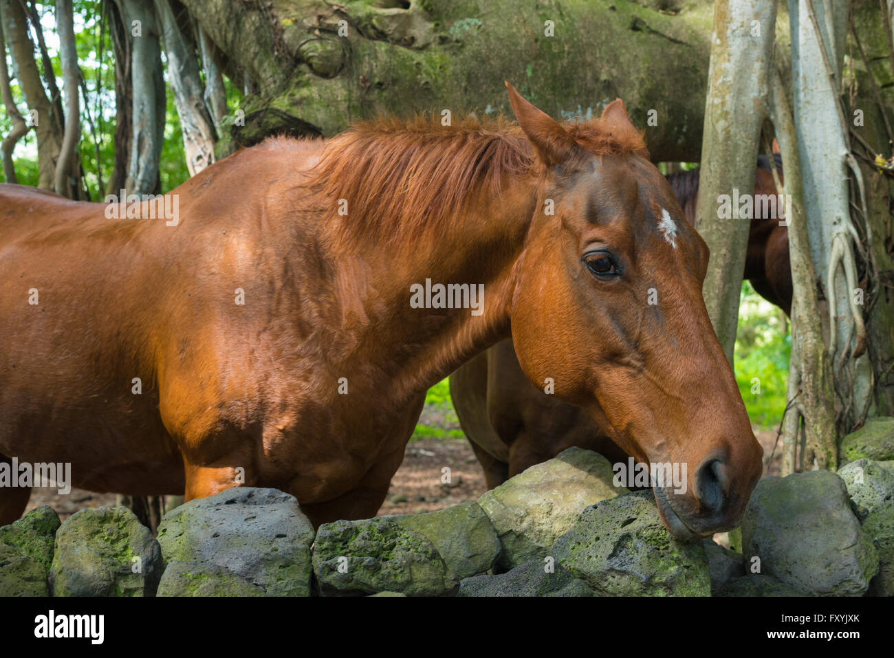 Horse, Equus ferus, standing with its head over a lava rock wall on the Hawaiian island of Maui, USA. Stock Photo