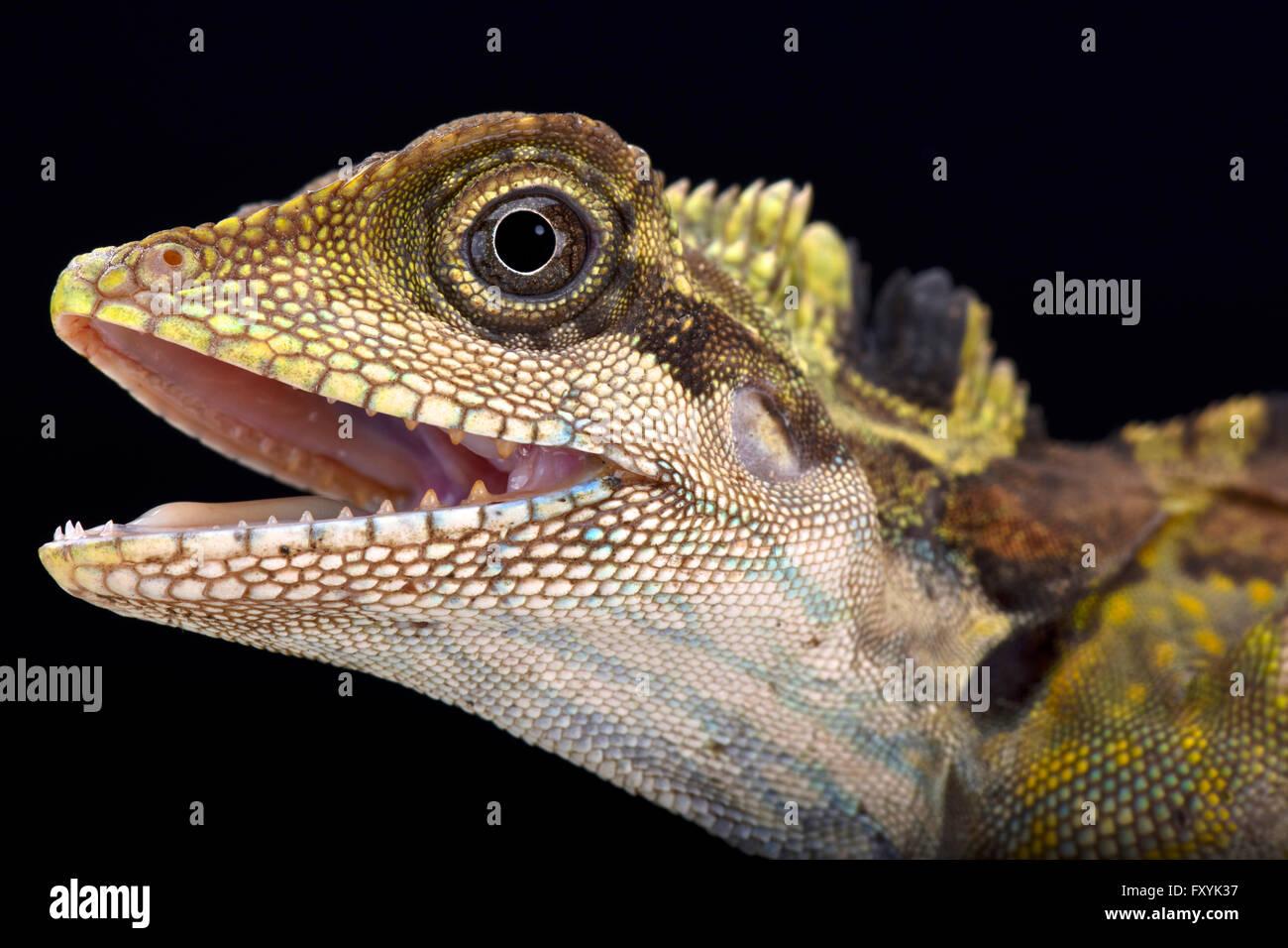 Great angle head lizard (Gonocephalus grandis) - Stock Image