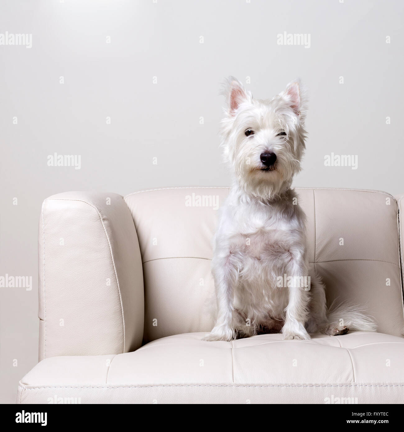 Pleasant A Small White Dog Sitting On A Modern White Leather Couch Forskolin Free Trial Chair Design Images Forskolin Free Trialorg