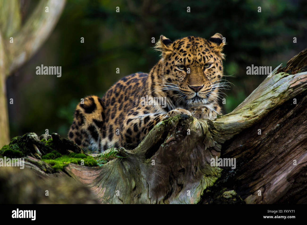 Amur Leopard (Panthera pardus orientalis) Lying Along a Log - Stock Image