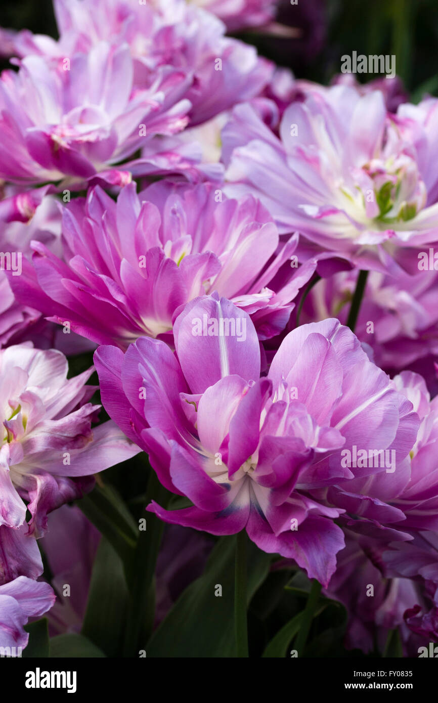 Heavily doubled flowers of the early tulip, Tulipa 'Blue Spectacle' - Stock Image
