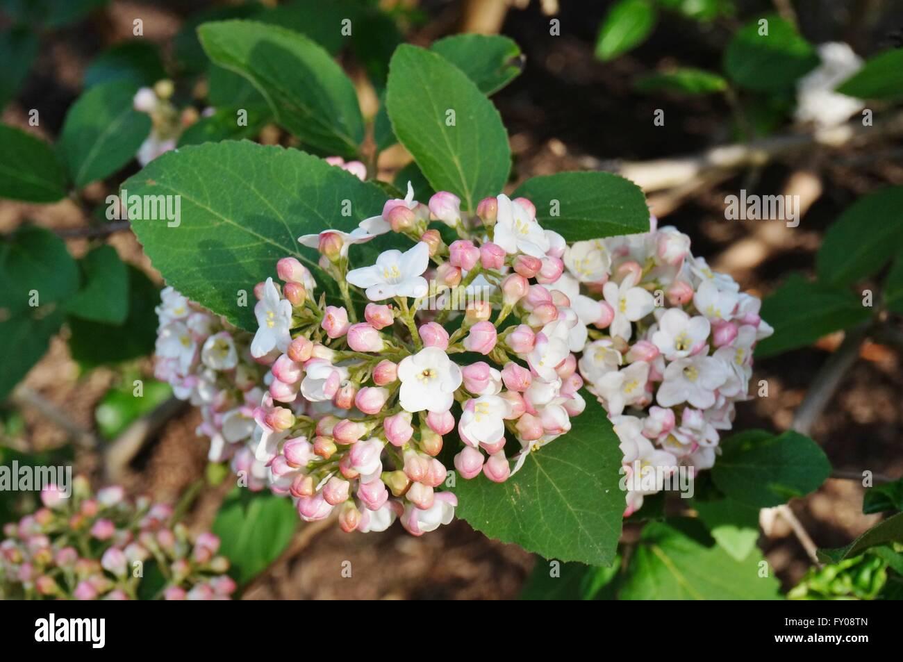 Viburnum flower stock photos viburnum flower stock images alamy white and pink flower balls of fragrant viburnum in bloom stock image mightylinksfo