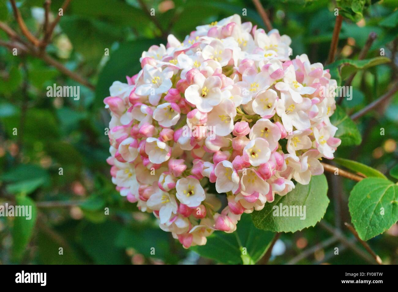 White and pink flower balls of fragrant viburnum in bloom stock white and pink flower balls of fragrant viburnum in bloom mightylinksfo