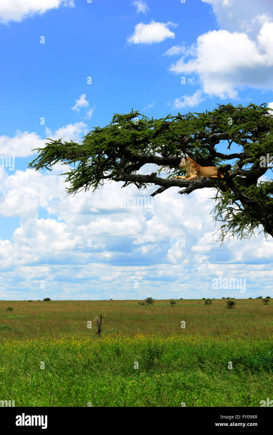 Lionesses on a tree in Serengeti National Park, Tanzania. - Stock Image