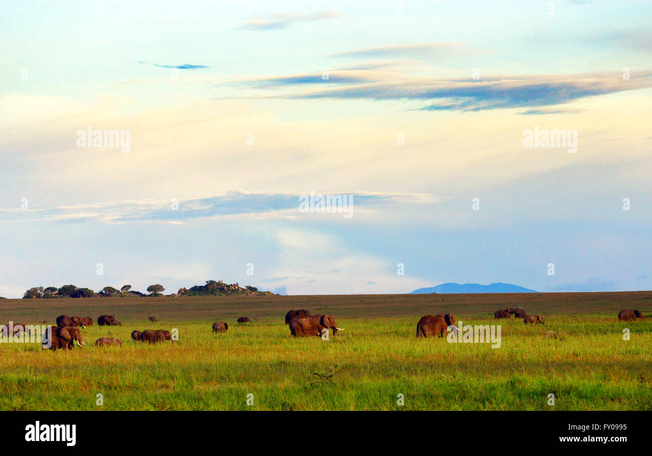 A herd of elephants and their calves grazing in the Serengeti savanna. - Stock Image