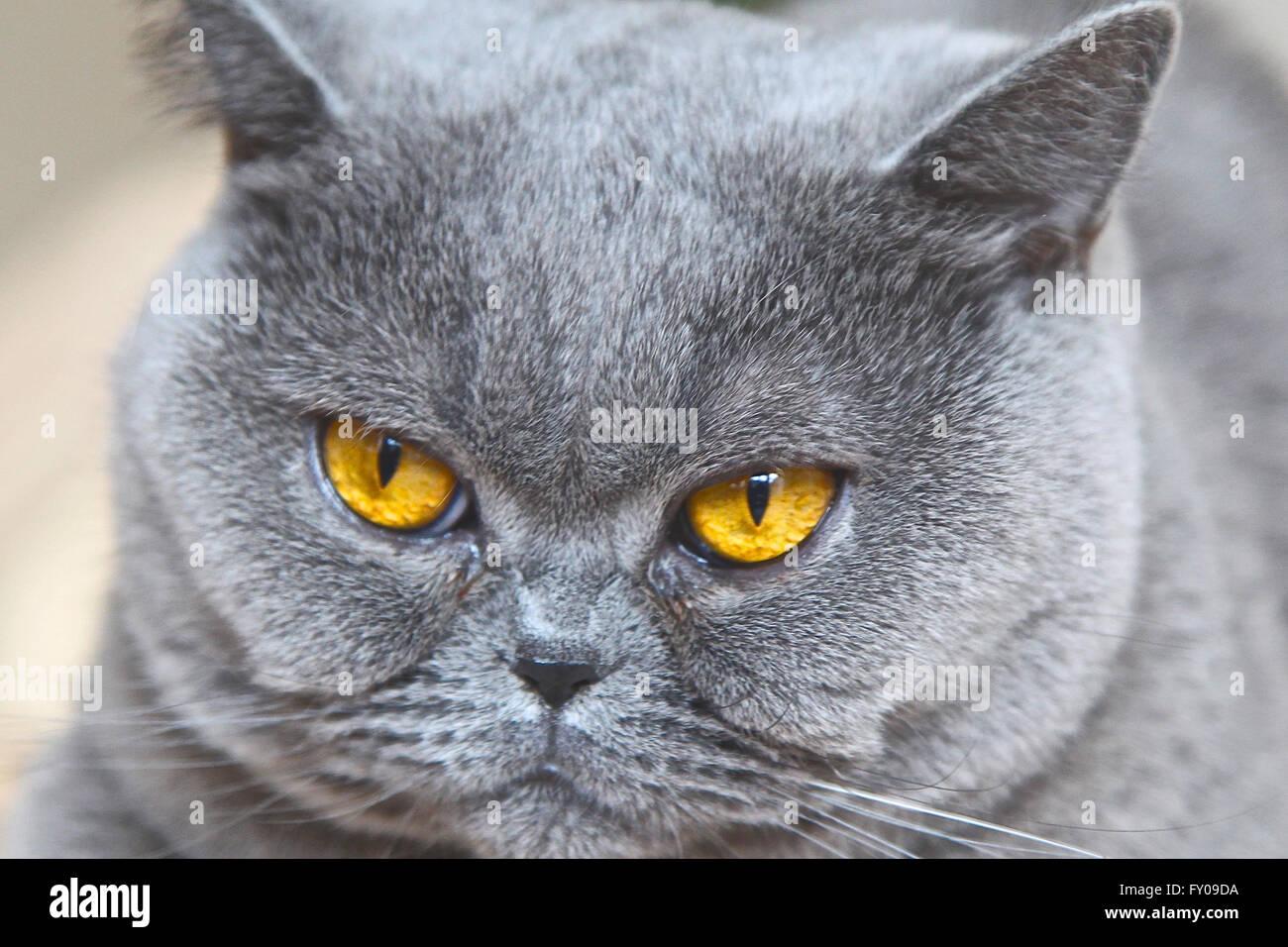 Cat Breed British Shorthair Similar Breeds
