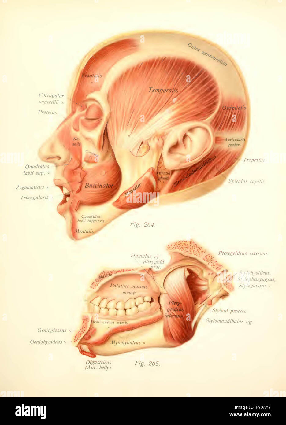 Atlas And Text Book Of Human Anatomy By Sobotta Johannes 1869 1945