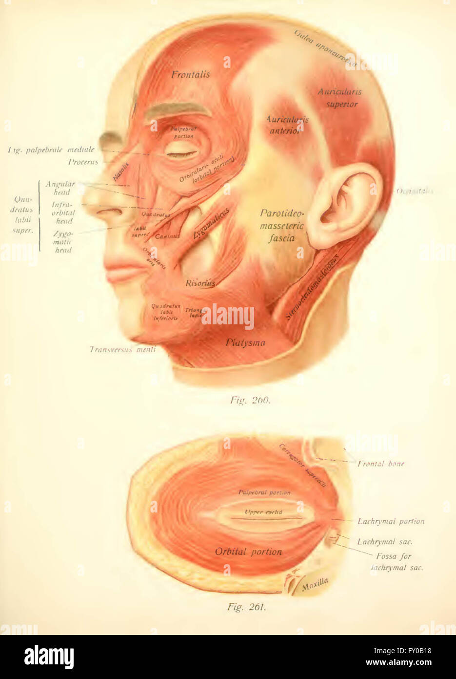 Atlas and text-book of human anatomy by Sobotta, Johannes, 1869-1945 ...