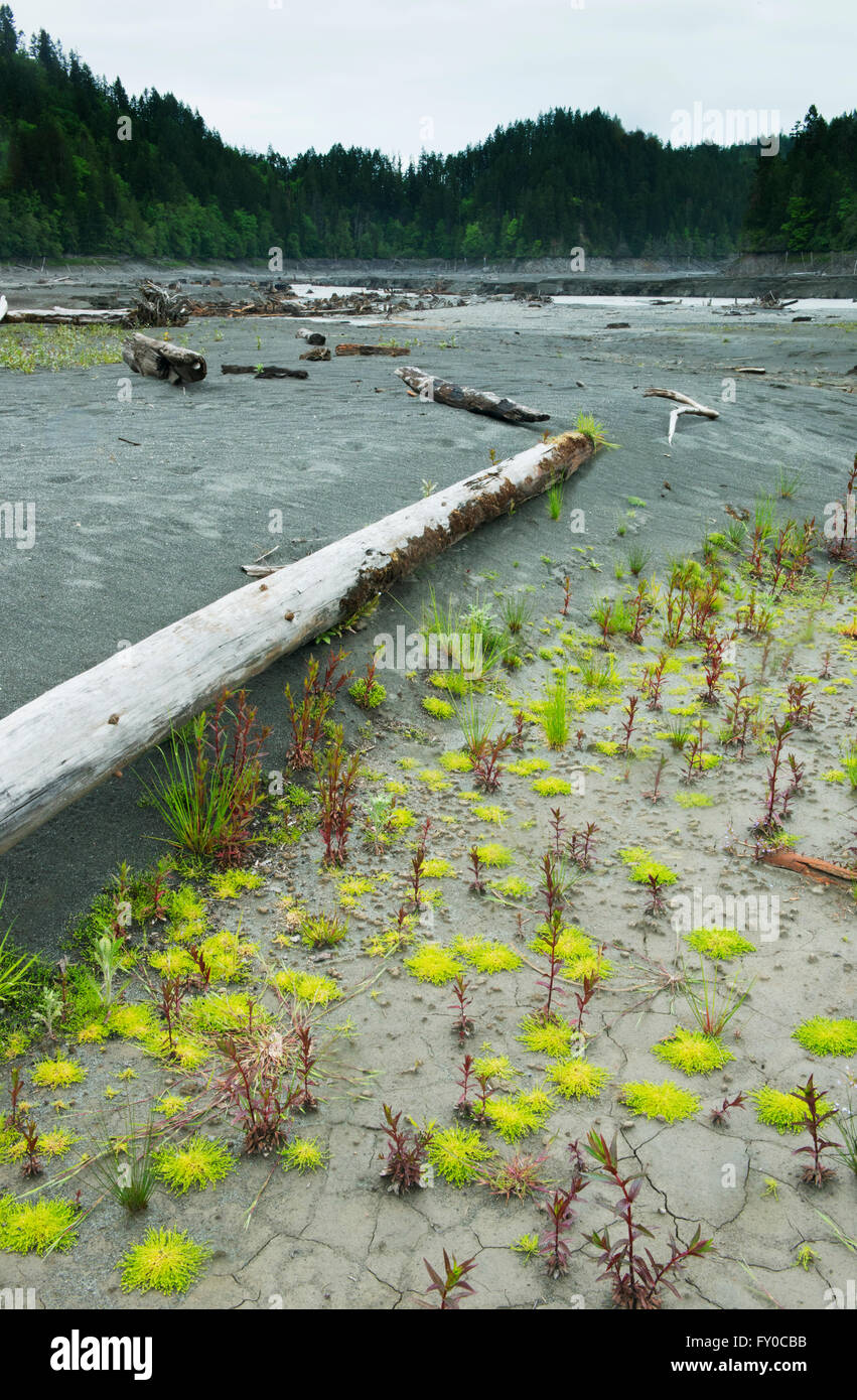 Plant recovery after dam removal, Elwha River, Olympic Peninsula, Washington - Stock Image