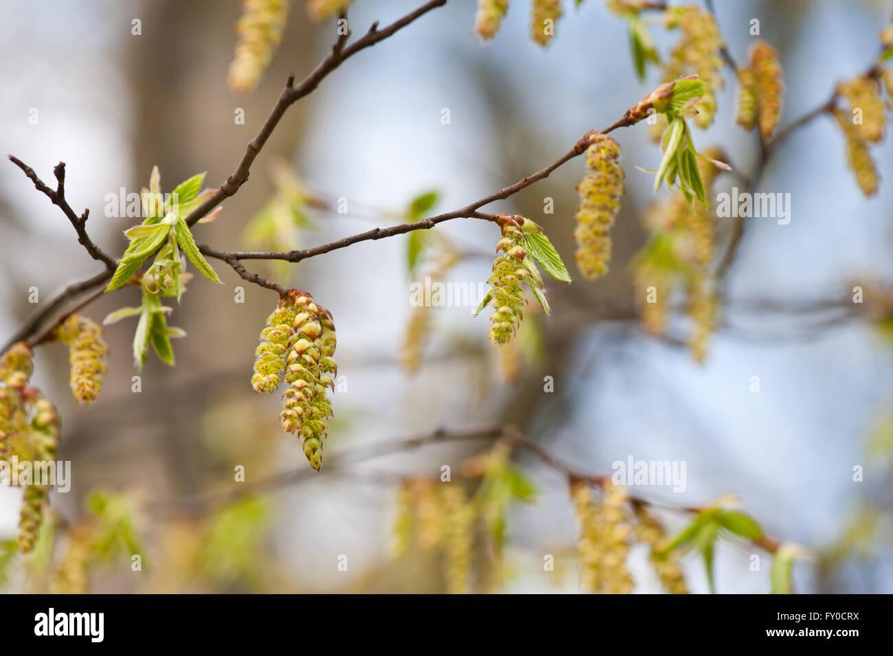 Carpinus betulus tree flowering macro, drooping young hornbeam catkins inflorescences nature detail, fresh flowering - Stock Image
