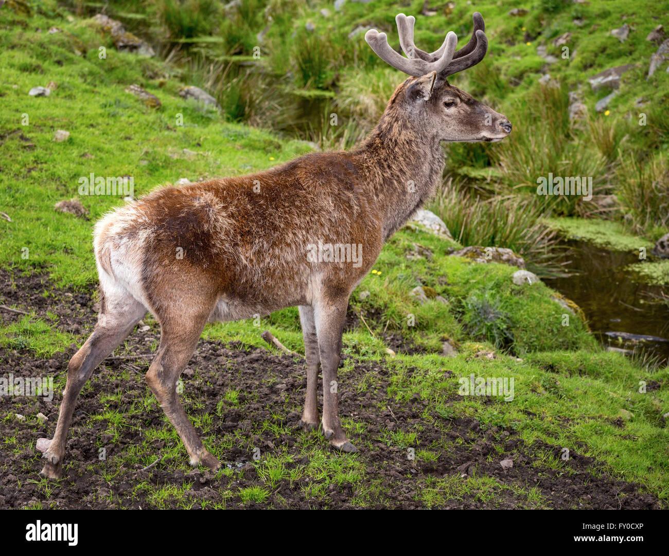 Red deer (Cervus elaphus), captive, Skåne, Sweden - Stock Image