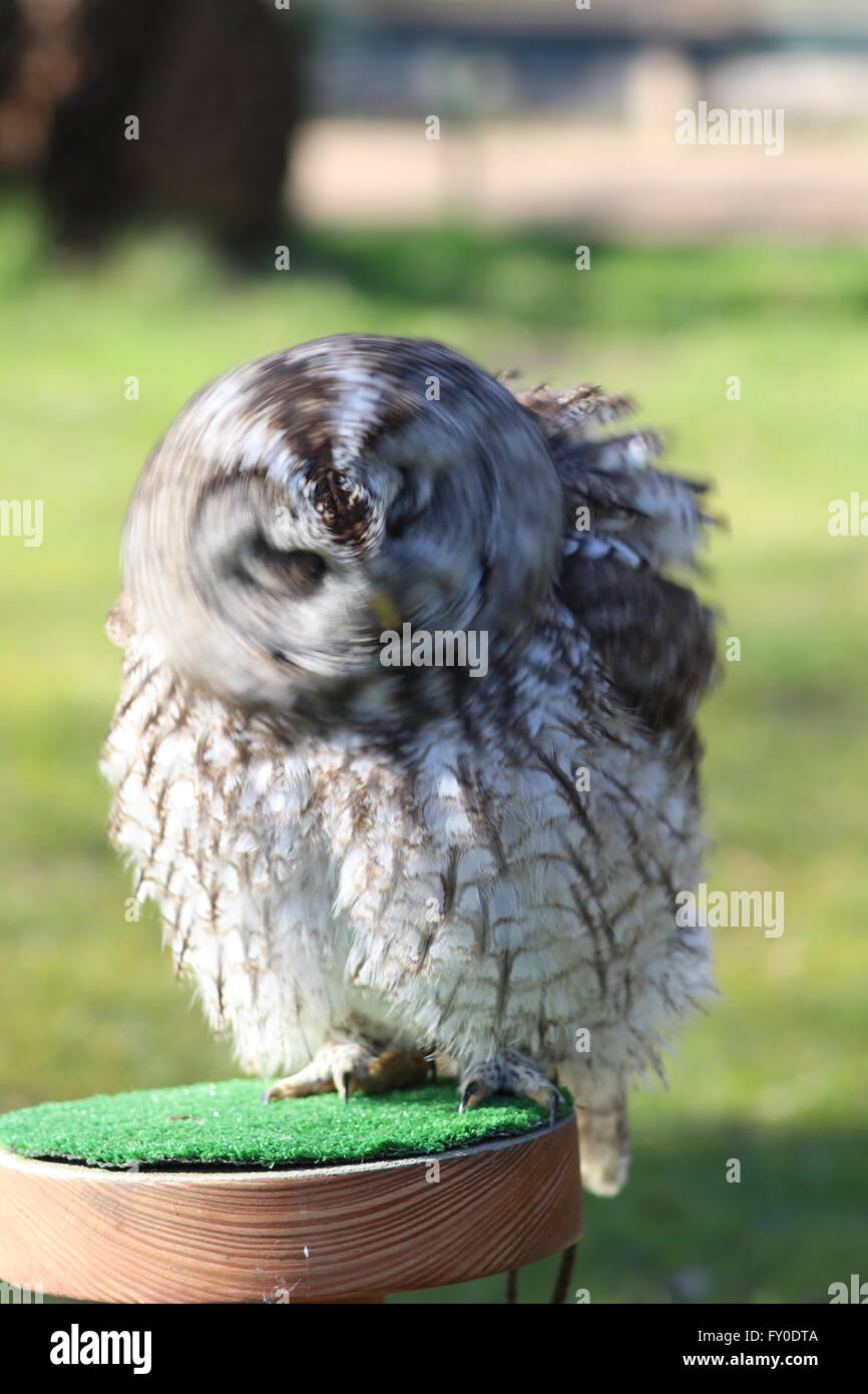Tawny owl (Strix aluco) violently shaking, Greifvogelstation Gut Leidenhausen, Cologne Porz, NRW, Germany, kept - Stock Image