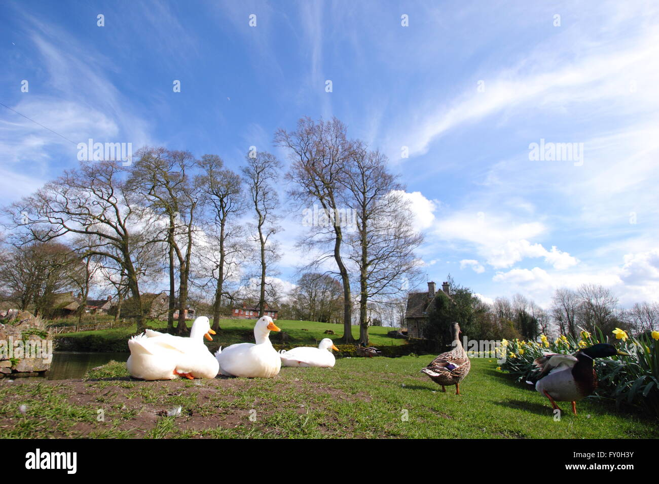 Ducks and daffodils by the village pond in Tissington, Peak District National Park, Derbyshire UK  - spring Stock Photo
