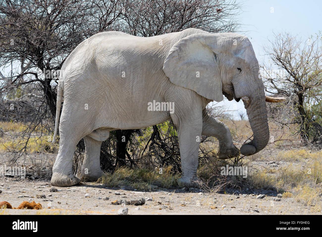 Solitary African bull elephant (Loxodonta africana) feeding in Etosha National Park, Namibia Stock Photo