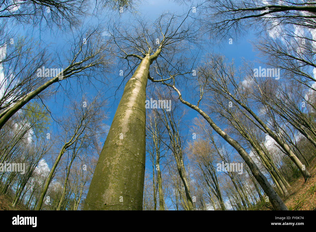 Beech Fagus sylvatica with wide angle view looking upwards - Stock Image
